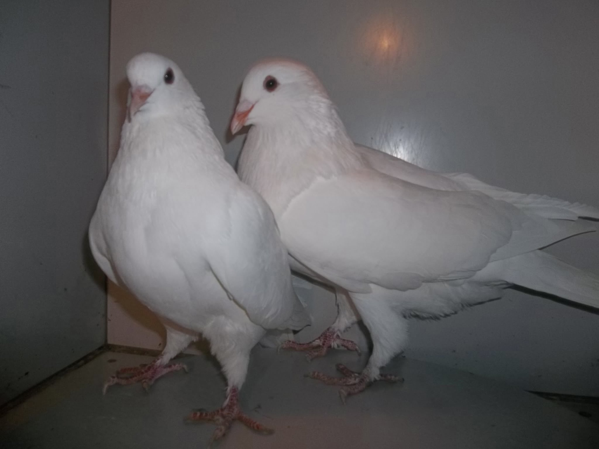 white - mondaine - hen pigeons