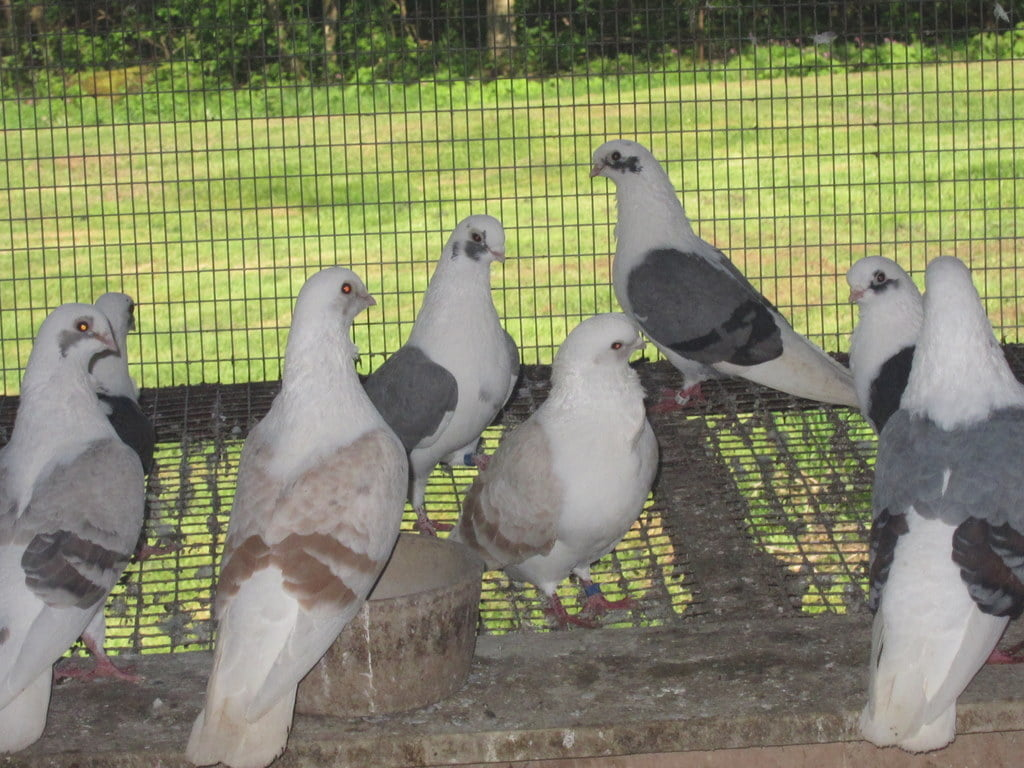 turbiteen pigeons