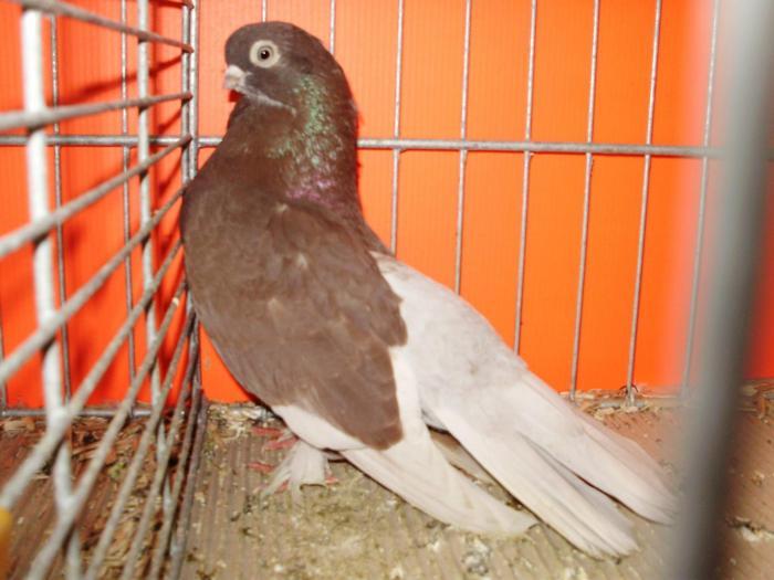 pigeons de kazan