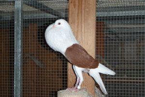 Voorburg-Shield Cropper-pigeons
