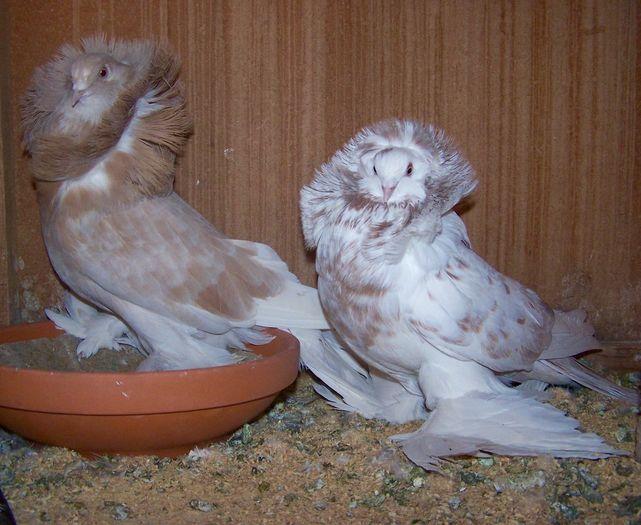 decorative pigeons
