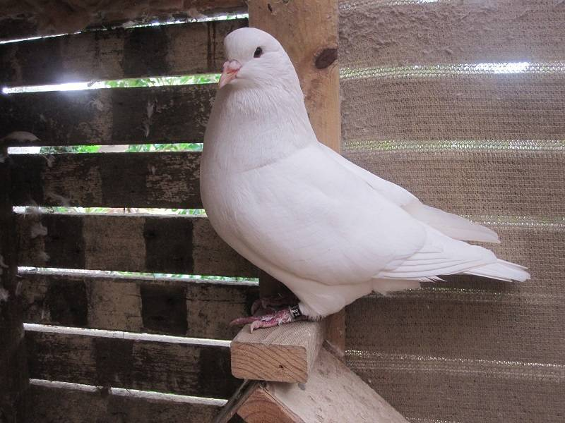 mondaine pigeons