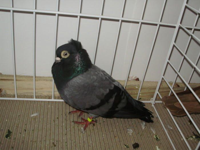 Haut-volant - pigeons