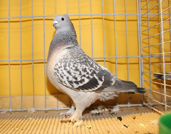 pigeons swiss