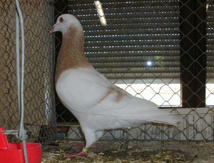 pigeons - utility