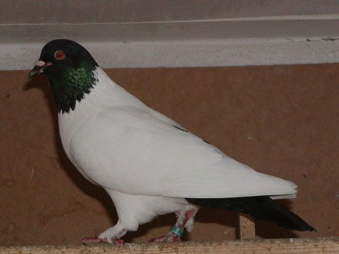 Silesian Colourhead pigeons - form pigeons