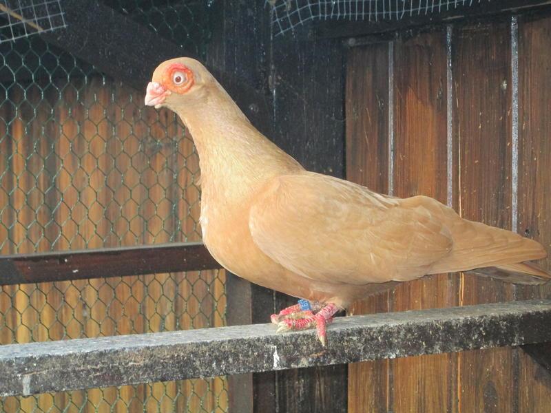 spanish barb - barb pigeons