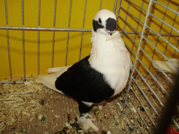 Cravaté-pigeons