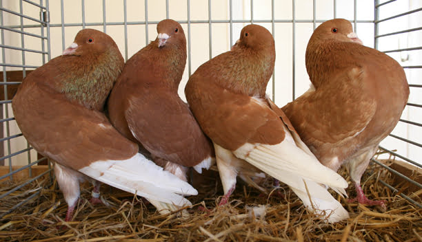 ringbater -pigeons