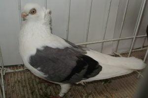 Konstanza-pigeons