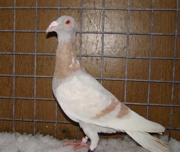 polski golub