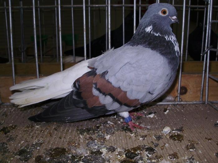 tümmler pigeons