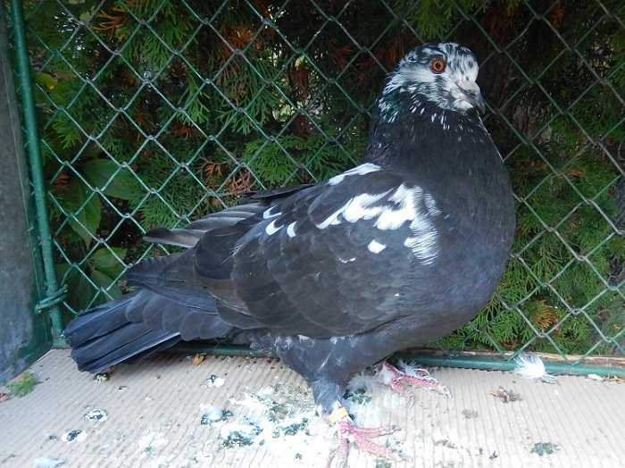 giant pigeons - meat pigeons - utility pigeons