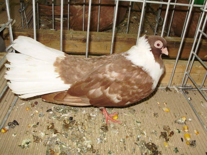 tumbler - pigeons - bulgarian