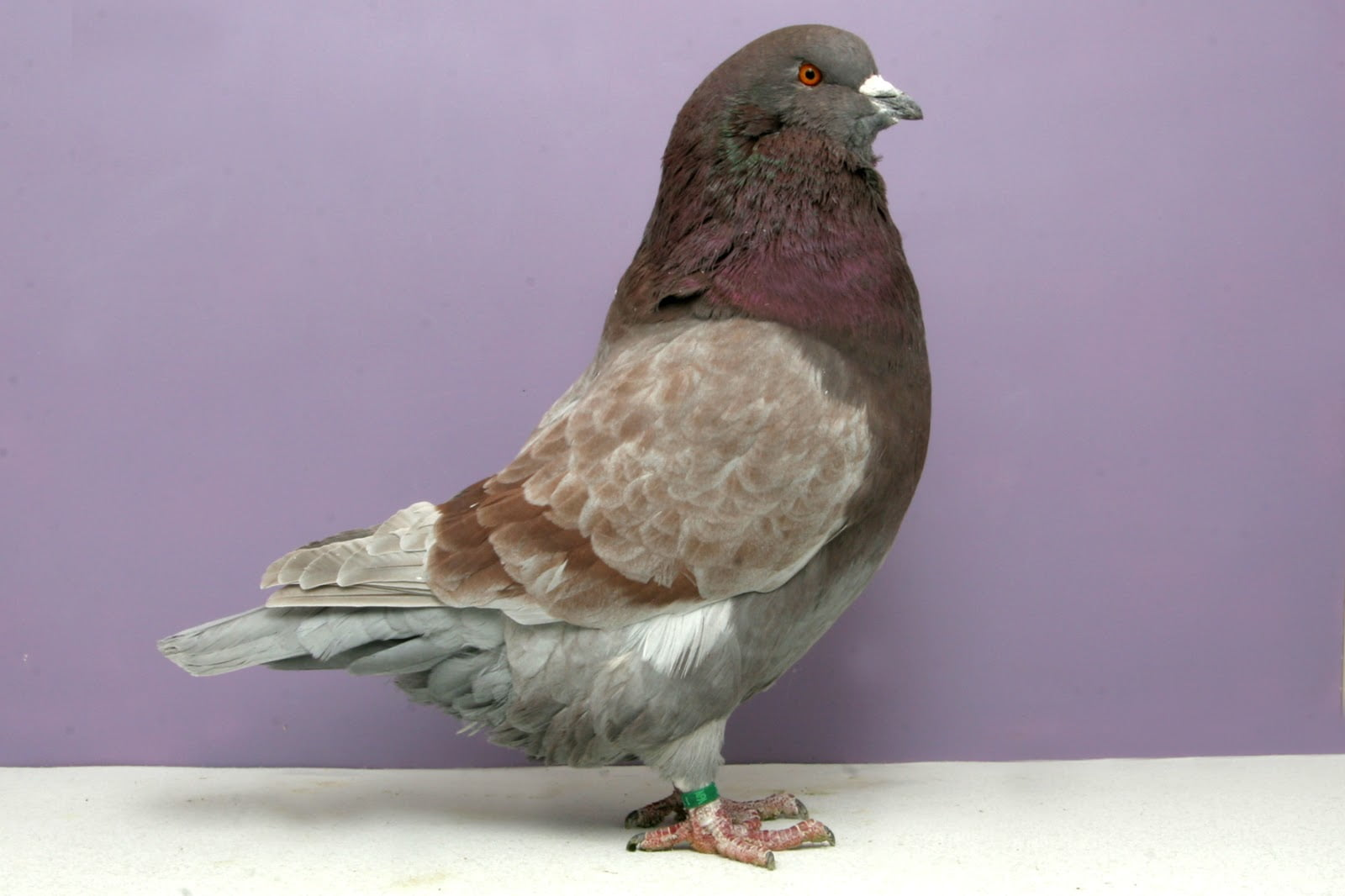 runt pigeons - american