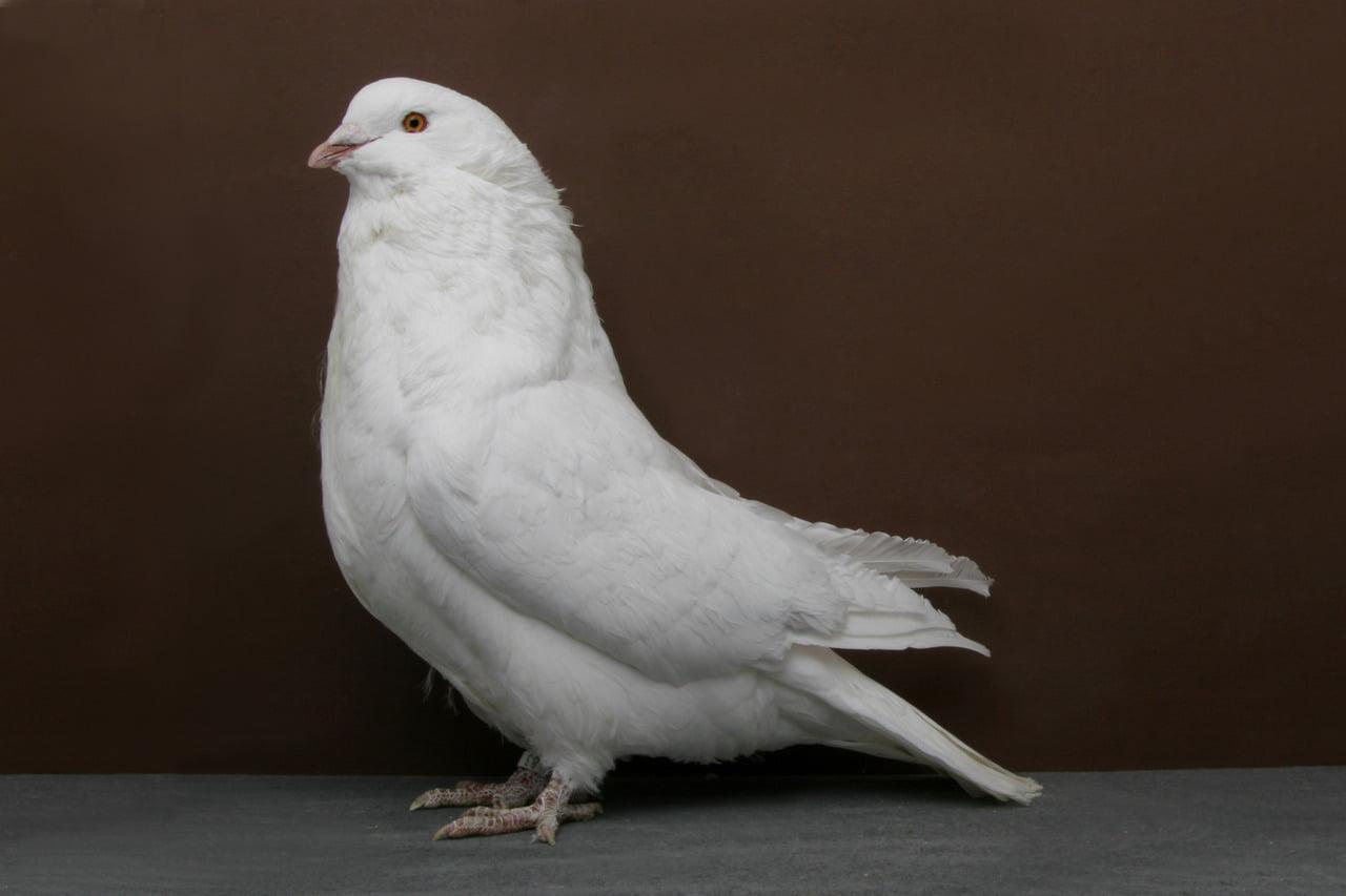 giant runt pigeons