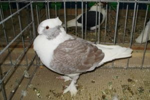 frill pigeons