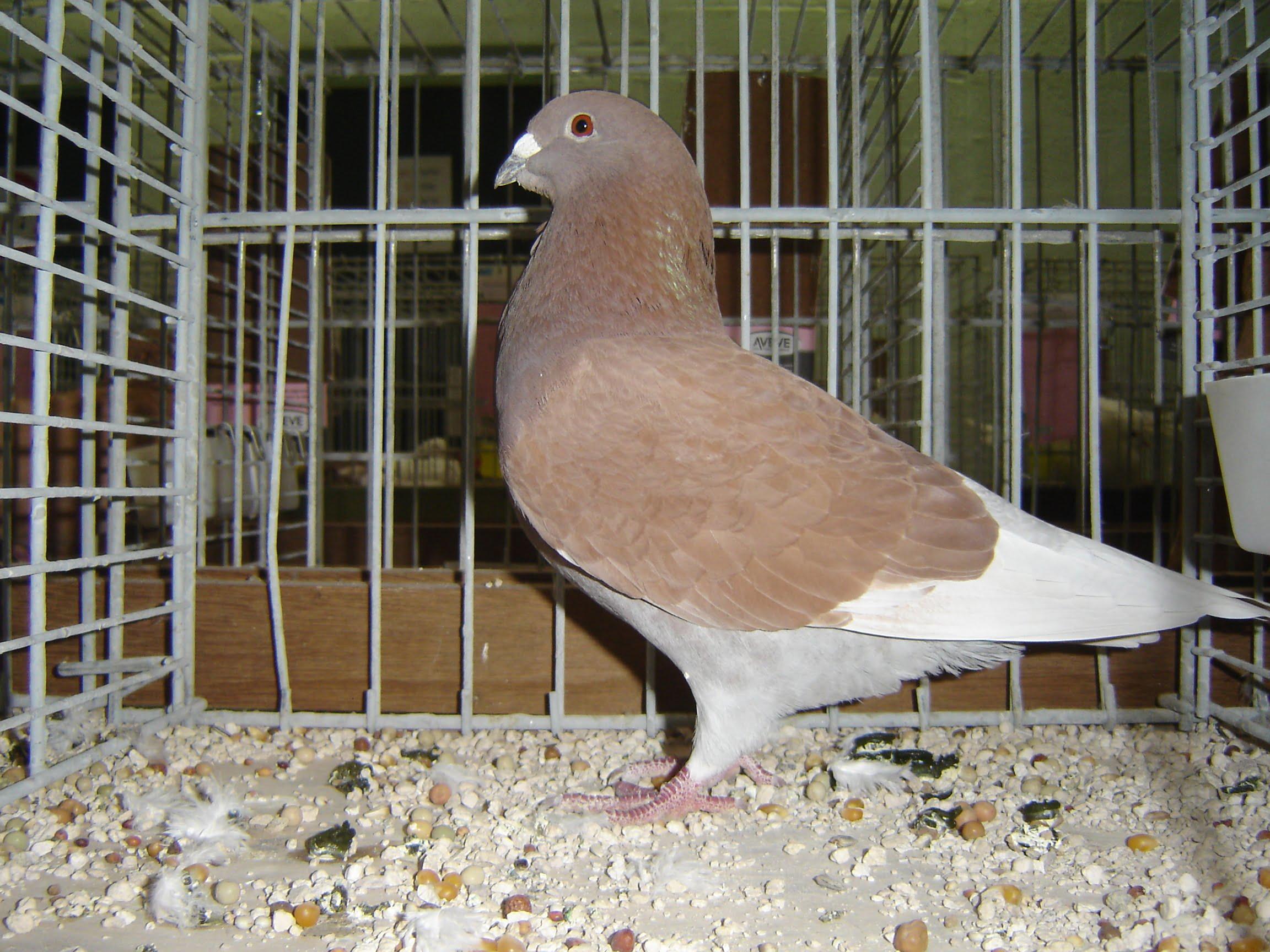 dove homer