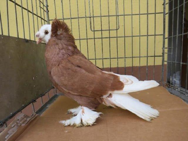 pigeons - tabosar