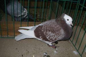 Boulant pigeons