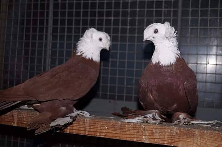 pigeons - culbuıtant