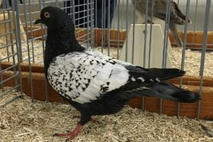 kalapati pigeon
