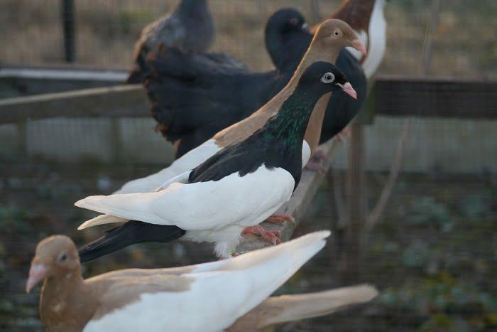 magpie pigeons