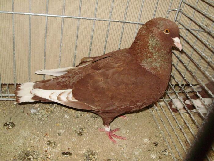 الحمام الرقاص- form pigeons