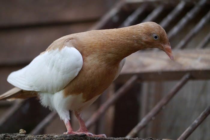 culbutant - pigeons