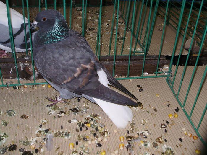 pigeons conquleur - colombi
