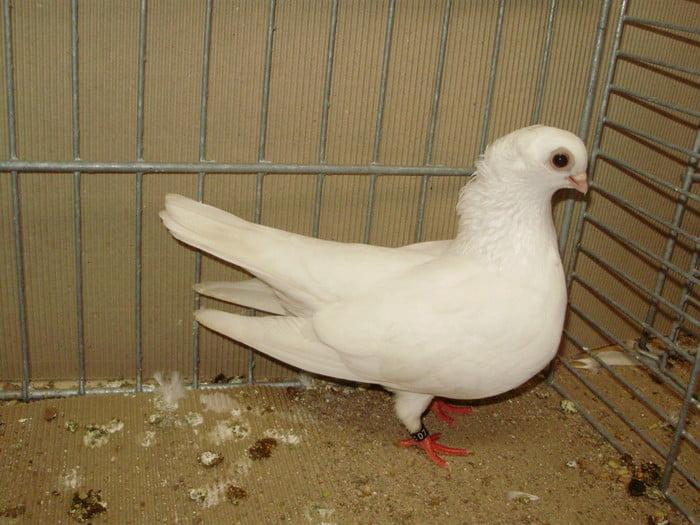 white dove - tumbler pigeons