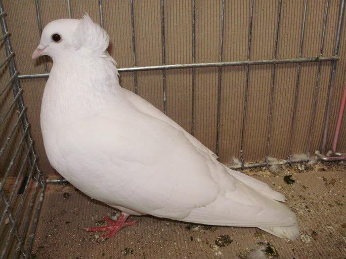 ringbater - güvercin-fancy pigeons