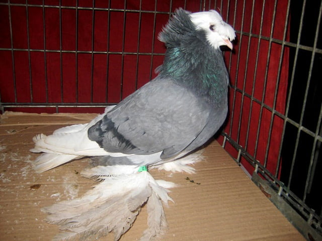 tauben kaufen - pegon -pigeon png