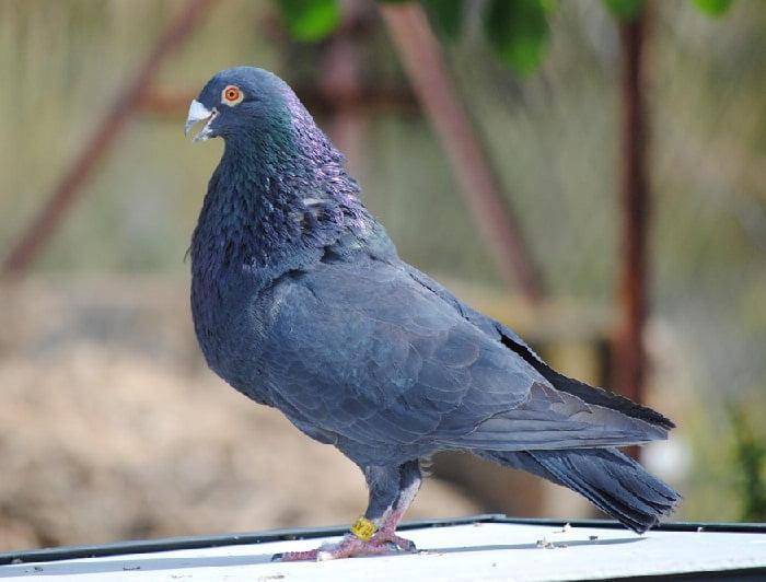 pouter - cropper - pigeons