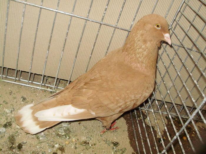 انواع کبوتر زینتی - pigeons