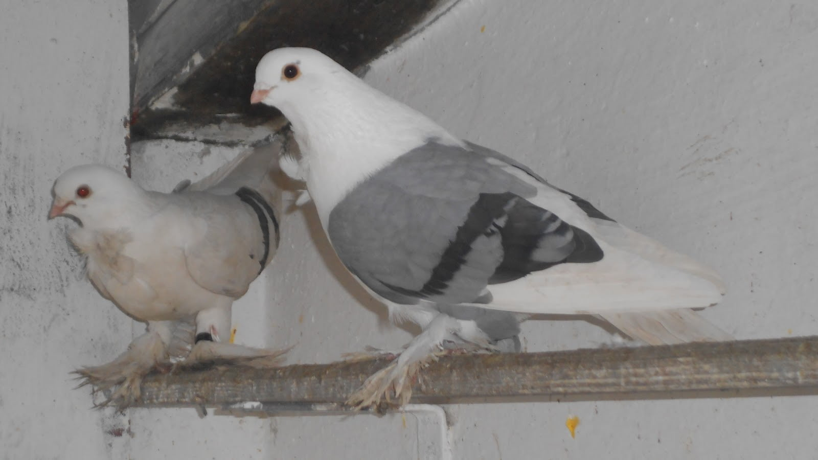 blue shield pigeons