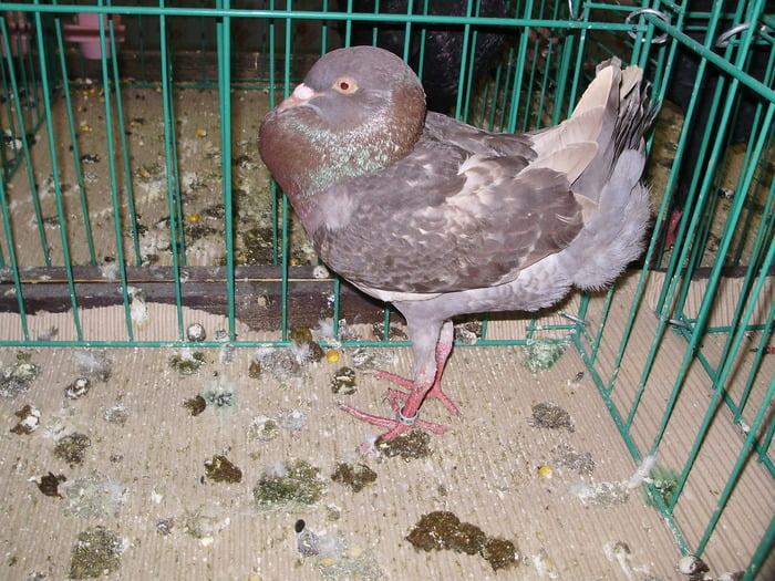 hen pigeons
