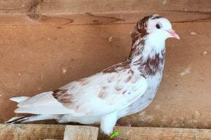fancy dove - jacobin