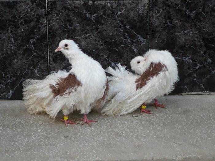 pigeons - fantail - saddle back