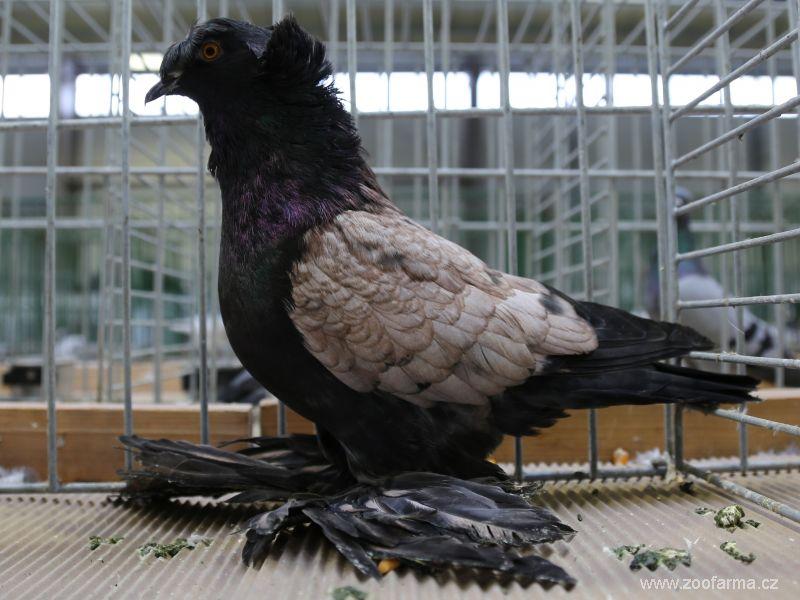 bồ câu gà - کبوتر زیبا
