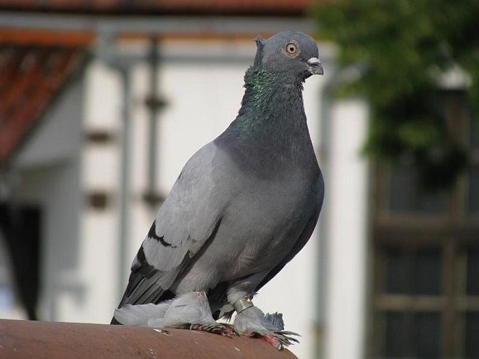 tunmbler pigeons