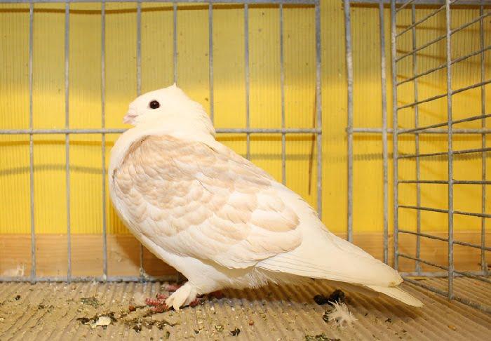 pigeon owl