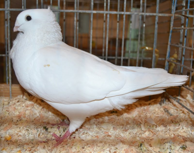 pigeons cravate