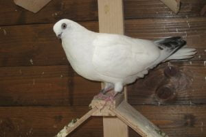 pigeons culbutant - güvercin