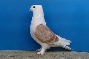 pura photos - breeder pigeon