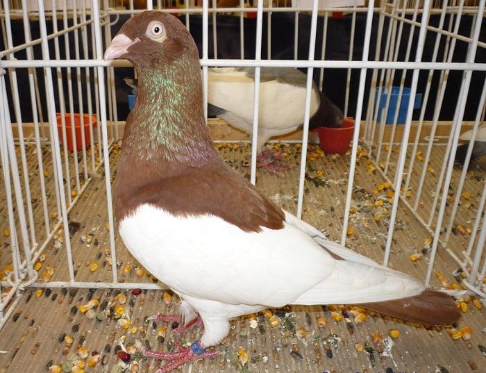 Pie Hongrois- pigeons