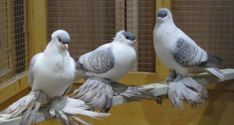 saxon pigeons
