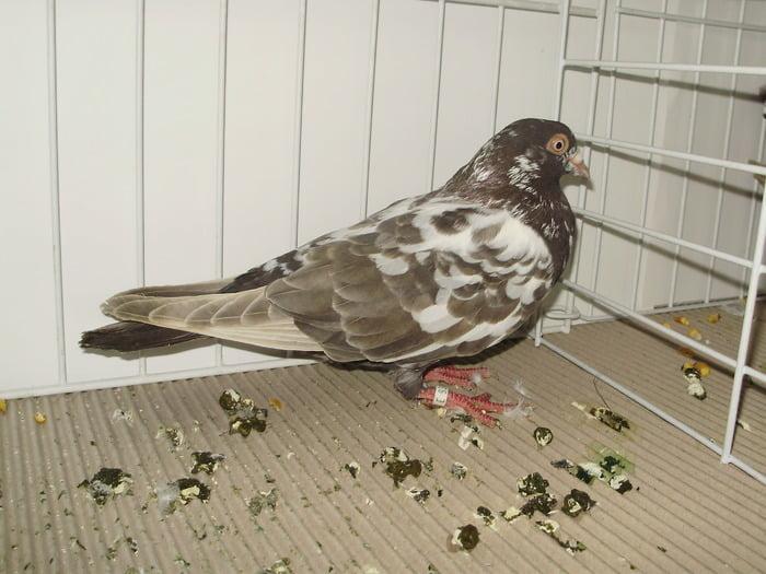 pigeons - show - brown tumbler