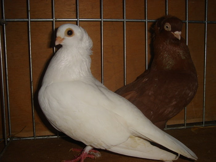 serbian pigeons