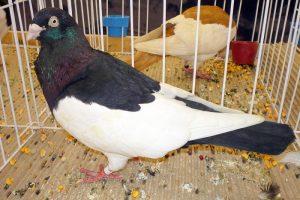 pigeon photos - magpi-tumbler